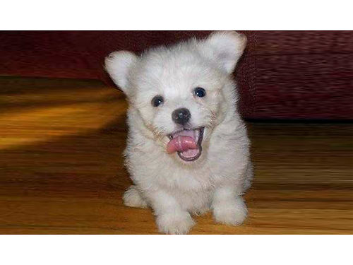 POM POO male puppy very small solid white so adorable  smart will make a wonderful addition to y