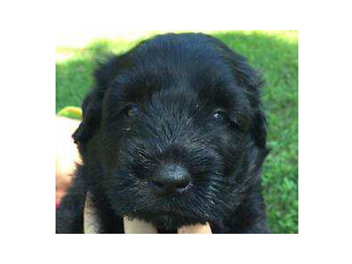 BOUVIER puppies AKC reg 1 male  3 females UTD shots  worming ready to go 800 and up 423-3