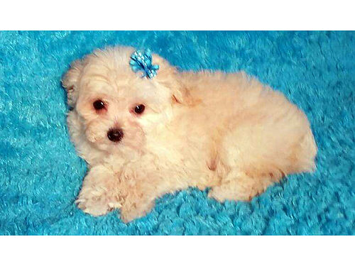 MALTI-POO Pocket puppies must see these bouncing beauties hypo-allergenic non-shedding friend of