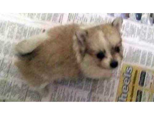 POMERANIAN puppies party colors males  females shots  wormed UTD 500 cash only 423-348-8272 42