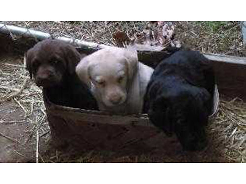 LABRADOR RETRIEVER puppies AKC chocolate yelllow black 1st shots dewormed 2X weaned and eatin
