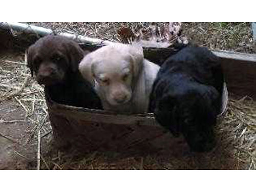 LABRADOR RETRIEVER puppies AKC chocolate yellow black 1st shots dewormed 2X weaned and eating