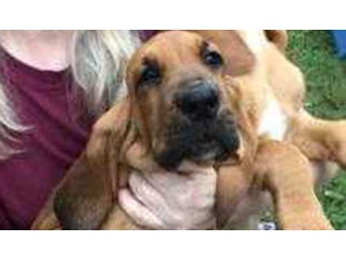 BLOODHOUND puppies AKC reg males  females 10wks old shots  wormed beautiful dogs good stock