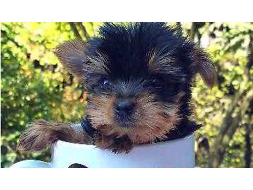 YORKSHIRE TERRIER teacup puppies males  females available expected to mature under 3lbs vac  wo