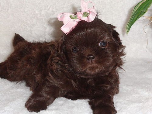 SHIH-TZU puppy AKC reg female UTD on shots  worming liver color wonderful temperment sweet ba