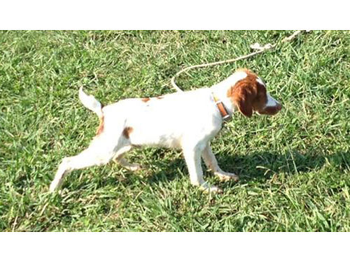BRITTANY Pup orange  white AKC REG 5mths old Champion Bloodlines 500 firm 423-623-6197 days 423