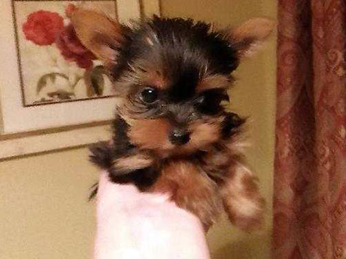 YORKSHIRE TERRIER puppies 423-707-9981 hypoallergenic non shedding intelligent sweet loving tiny