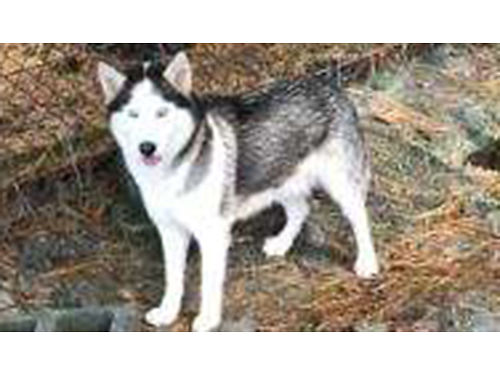 SIBERIAN HUSKYS adults AKC white male wblue eyes Also CKC female gray  white wblue eyes 200