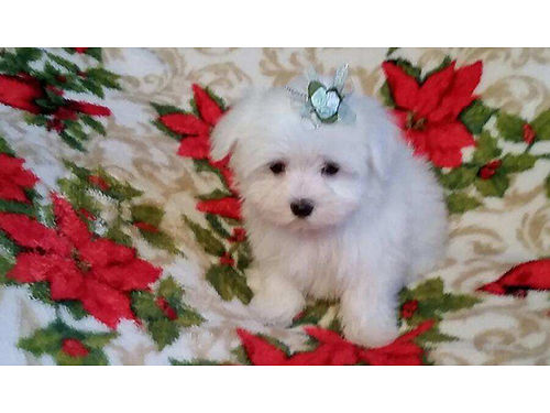 MALTESE Pocket puppies non-shedding hypo-allergenic must see these beautiful balls of fur great