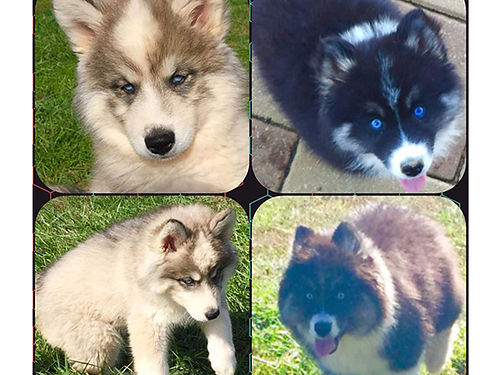 SIBERIAN HUSKY puppies 2 10wk AKC females 1 black  white 1 gray and white UTD all shots