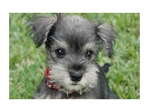 MINIATURE SCHNAUZERS liver tan chocolate and other asssorted color puppies UTD shots  worming gua