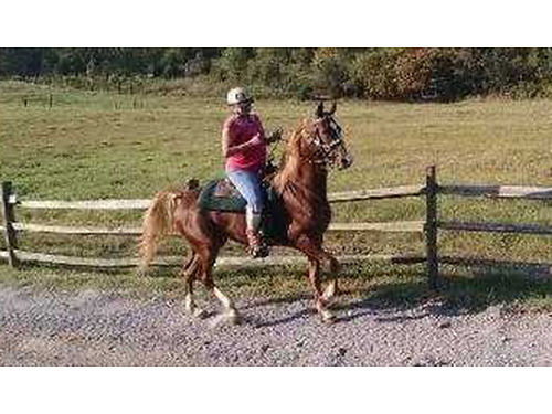 HORSE beautiful 5 gaited American Saddlebred mare 5yrs old Chestnut wflax mane  tail 1500 423-5