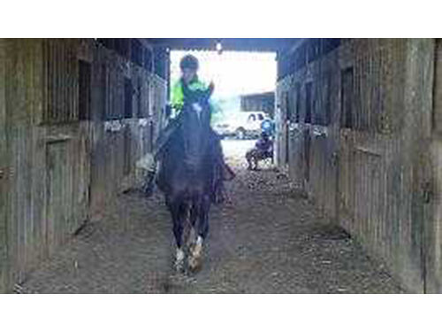 HORSE black Tennessee walking horse mare White Star 4 white stockings very gentle trail ridden