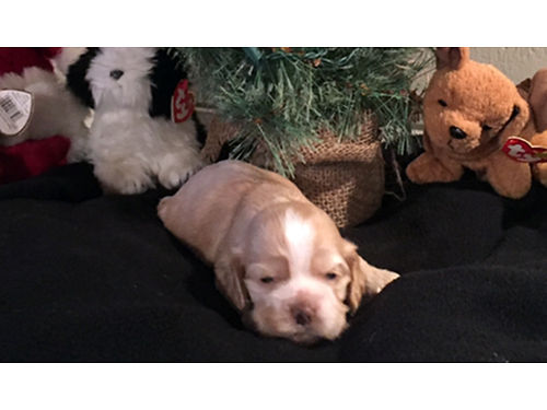 AMERICAN COCKER SPANIEL puppies AKC Reg Champion Bloodlines parents under 20lbs 1st shots wormed