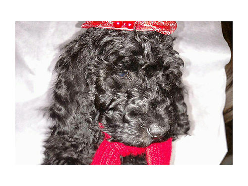 STANDARD POODLE puppies ready to go chocolate  black males 600  females 800 utd on shots  w