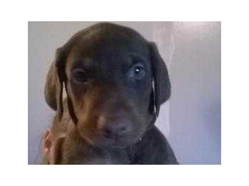 DOBERMAN AKC puppies 1 male 1 female black  rust 8 weeks old 200 obo 423-963-9262 423-726-2083