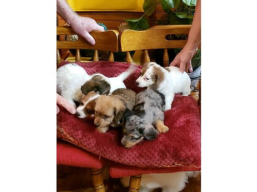 WEINIE POO puppies tiny Weinie Poo males adorable looks exactly like Dashchunds 8wks old very l