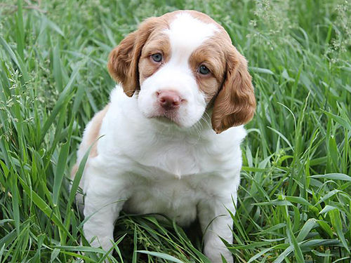 BRITTANY SPANIEL puppies 6wks old AKC reg UTD shots  worming fully guaranteed in writing 2 o