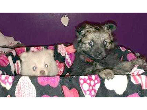 POMERANIAN puppies CKC Reg 3 litters to choose from parti red cream  sable shots  wormed utd