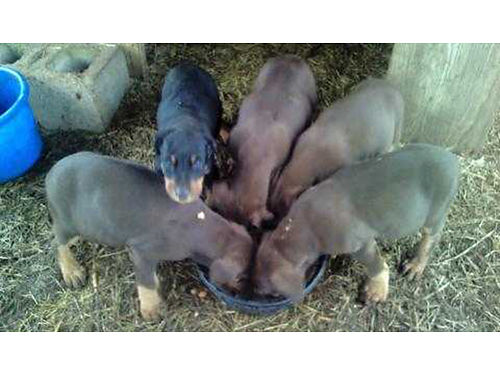 DOBERMAN PINSCHER Valentine puppies full blooded males  females red  rust black  rust will b