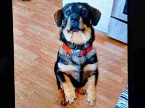 BLACK AND TAN male dog aprox 2yrs old weighs aprox 48 pounds built like a Bassett Hound black sp