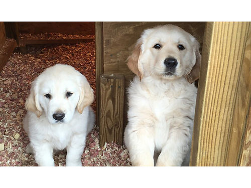 GOLDEN RETRIEVER puppies AKC  CKC DNA certified parents on premise shots  wormed bred for dis