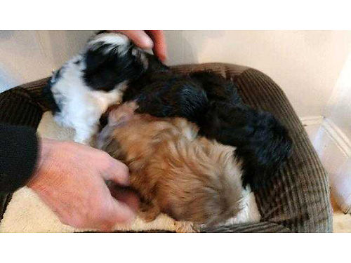 SHIH-TZU puppy AKC reg male UTD on shots  worming liver color wonderful temperment 500 423-21