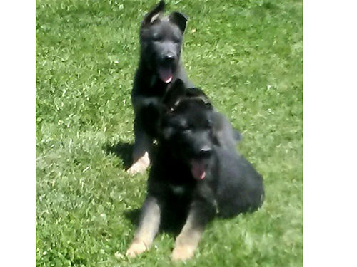 GERMAN SHEPHERD puppies AKC reg 1 red sable female 3 blk  tan males born 22618 parents o