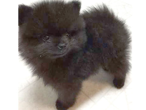 POMERANIAN puppies black males  females 8wks old shots  worming cute  loveable 400 each 615-