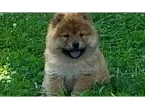 CHOW CHOW CKC pups males  females all colors excellent temperment socialized  paper trained U