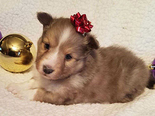SHELTIE puppies Toy size beauty different colors sable blue merle and black  white wonderful te
