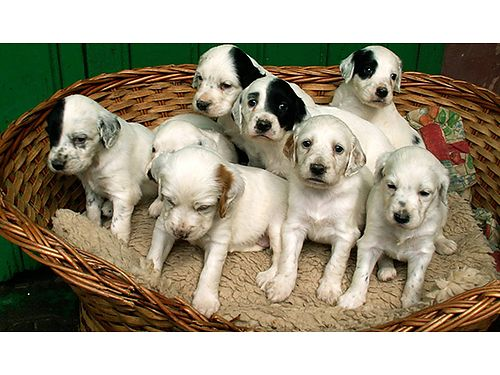 ENGLISH SETTER puppies FDSB reg males good hunting lines shots  wormed ready June 16th 350 27