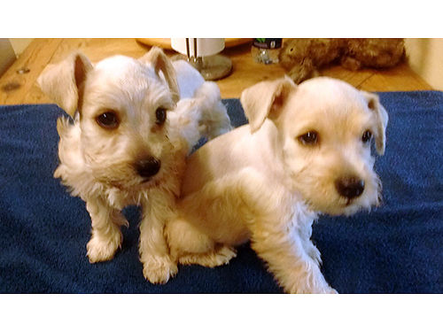 MINIATURE SCHNAUZER PUPPIES Rare White CKC Reg 1st shots Groomed 550  up 423-444-9908