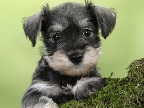 MINIATURE SCHNAUZER puppies CKC reg all males black black  silver shots  wormed groomed 400