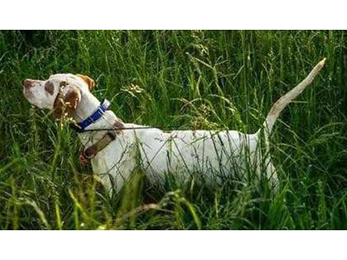 ENGLISH POINTER PUPPIES FDSB Reg males  females ready now shots  wormed parents used on our hu