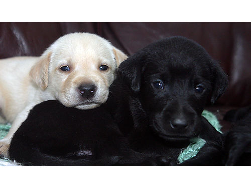 LAB puppies UKC reg males blacks  yellows ready Aug 12th shots  wormed parents used on our h