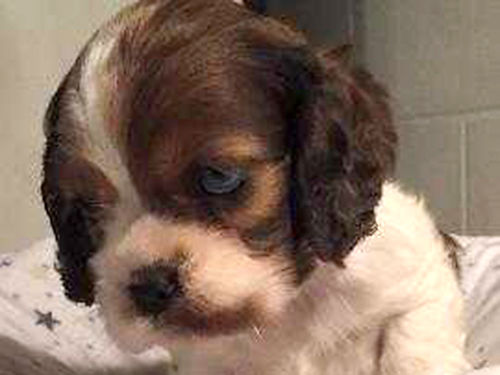 AMERICAN COCKER SPANIEL puppies AKC first shots dewormed health guarantee excellent pedigree m