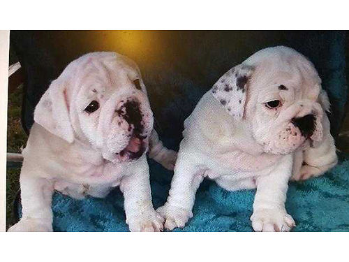 ENGLISH BULLDOG puppies AKC 1st shots Champion and Grand Champion blood lines rolls  wrinkles a