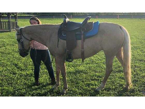 QUARTER HORSE Palomino Mare 12yrs old 143H incl 15 American western saddle 2500 276-701-6104 2