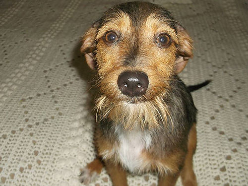 SWEET SENSITIVE LINCOLN terrier mix 7-8 months old up to date vac neutered ready to emancipate y