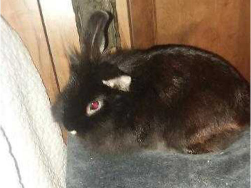 RABBIT Double maned LionHead 1yr old female litter trained pet  child friendly wcage  access