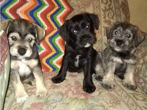 MINIATURE SCHNAUZER puppies Tails docked dew claws removed UTD on shots 1 female 2 males 65
