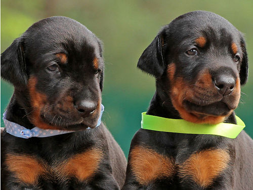 DOBERMAN PINSCHER puppies AKC reg great watch dogs will be at least 100lbs 1 redrust male 1