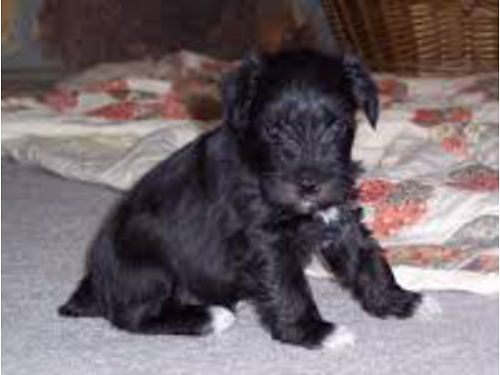 MINIATURE SCHNAUZER  Merle Schnauzers CKC puppies males and females various colors tails docked