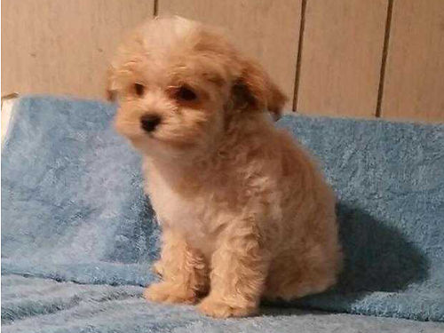 MALTI-POO puppies must see these non shedding hypo-alerginic bouncing beauties lonely need a frien