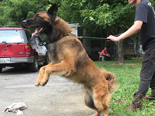 GERMAN SHEPHERD puppies 2 males AKC shots  wormed BUY SELL TRADE GRAY KENNEL  SECURITY 42