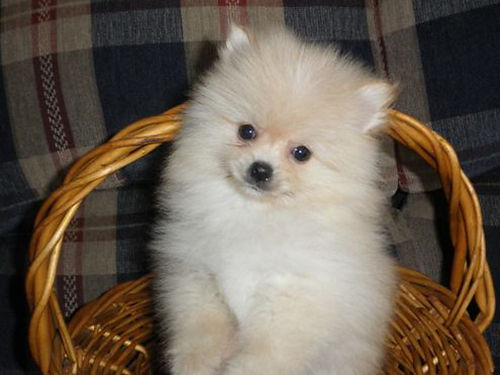 POMERANIAN puppies CKC cream  white parti 6wks old shots  wormed UTD 500 with papers cash on