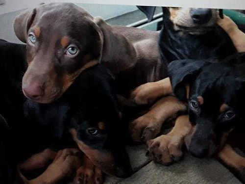 DOBERMAN PINSCHER female 14wks old ears tail and dewe claws are done shots dewormed 100 Beautif