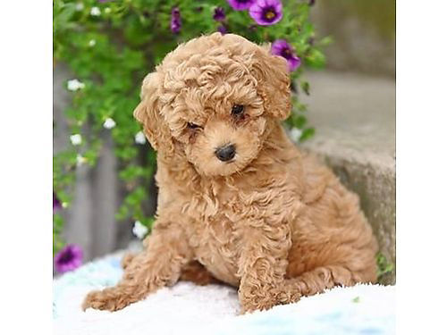 Poodle Puppies Wormed Utd On Shots Whealth Pets