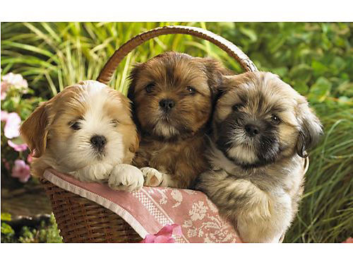 SHIH-TZU PUPPIES Wormed UTD on shots whealth guarantee layaway available Call for pricing 4